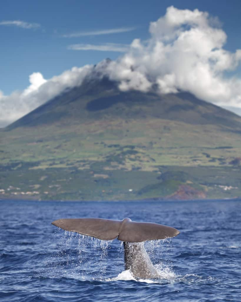 whale-watching-azores-sperm-whale