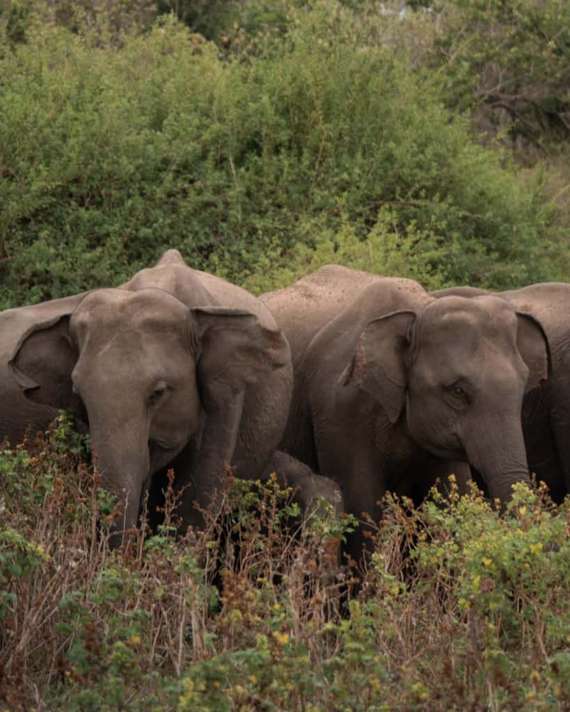 safari-wild-elephants